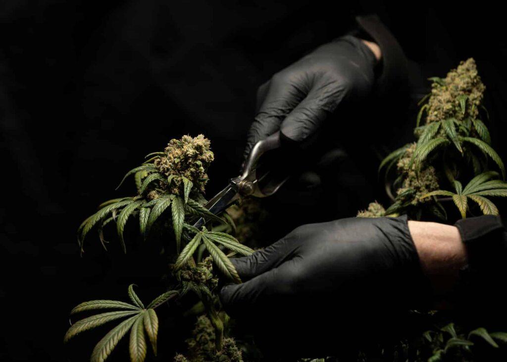 La marihuana medicinal para mejorar las enfermedades crónicas